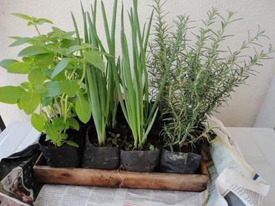 Temperos alecrim e cebolinha plantar f cil - Cultivar lavanda en casa ...