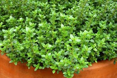 Plantas temperos